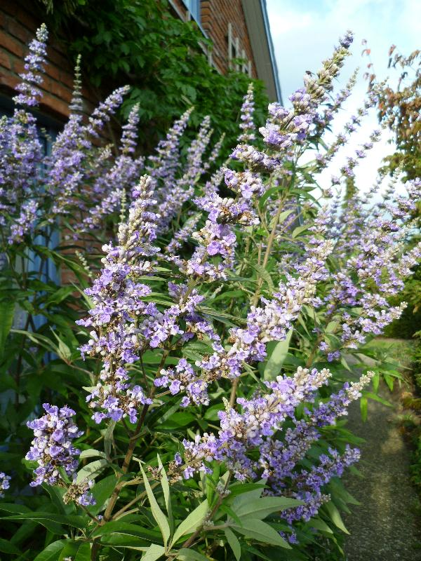 Vitex agnus-castus 'Longifolius'in a private garden.